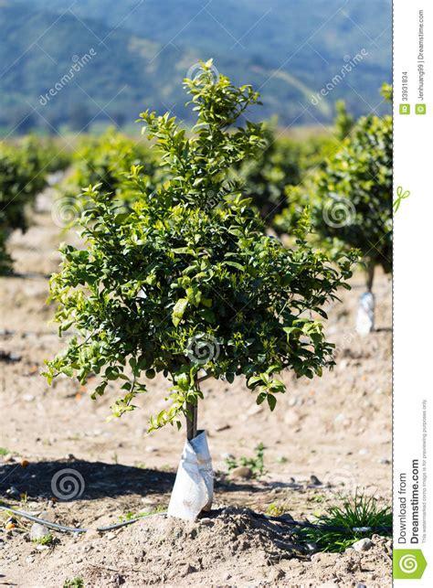 Orange Fruit Tree Orchard Stock Photo Image Of Orchards