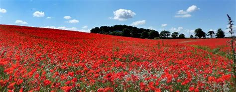 poppy fields remembrance day the story of the poppy the royal british legion