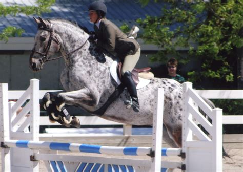 jumping appaloosa breeds horse horses five thoroughbred jumpers leopard