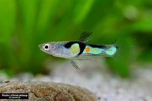 Welche Fische Passen Zusammen Aquarium : welche fische vertragen sich mit garnelen garnelen ~ Lizthompson.info Haus und Dekorationen