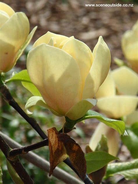 garden design magnolia honey tulip