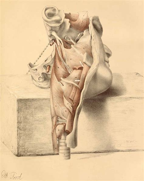 anatomical forces  figure drawing
