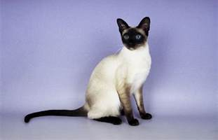 siamese cats siamese cat purrfect cat breeds
