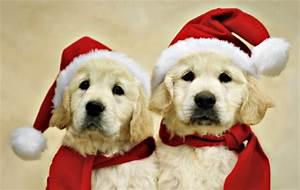 Golden Retriever Puppies Christmas Wallpaper | www ...