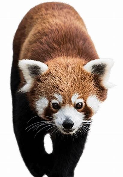 Panda Side Encounter Nationalzoo Days Meet Zoo