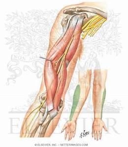 Brachialis pain throwing