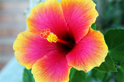 hibiscus flower hibiscus flower free stock photo public domain pictures