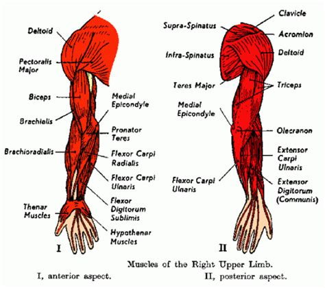 Interesting facts about voluntary muscles the human body has over 600 voluntary/skeletal muscles. It Is Arm Day! What Will You Do?