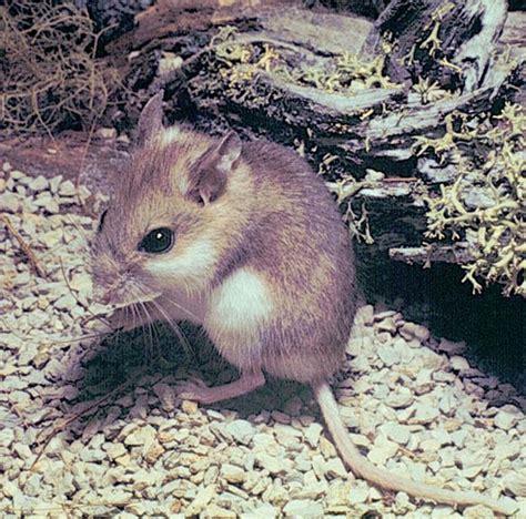 beach southeastern mouse species mice peromyscus archie carr florida anastasia wildlife national island north refuge northflorida fws gov