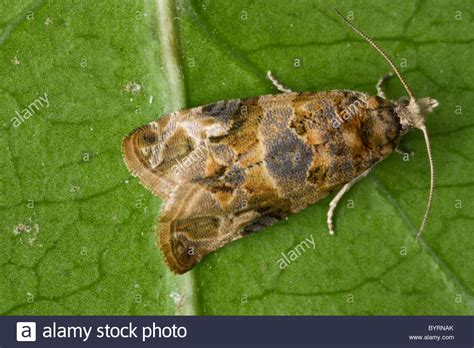 http://www.alamy.com/stock-photo-agriculture-european-grapevine-moth-lobesia-botrana-adult-moth-female-34327739.html