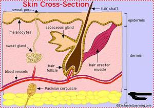 Integumentary System Skin Parts