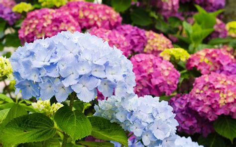 hortensien mit essig gießen hortensien bl 252 hende str 228 ucher mit romantischem flair