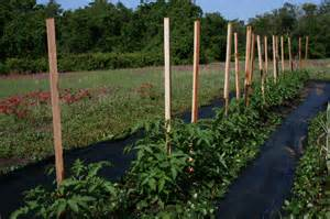 How to Stake Tomatoes Plants