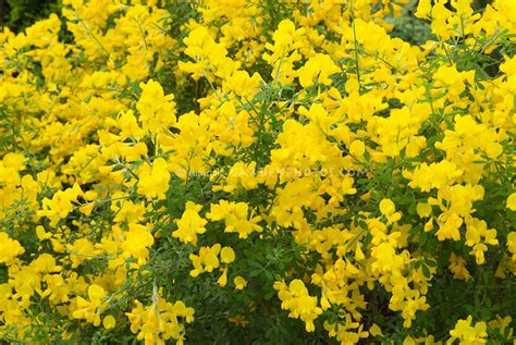 yellow blooming bushes genista x spachiana in flower plant flower stock photography gardenphotos com