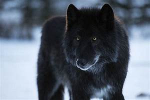 Alberta sanctuary trying to save abandoned wolf-dog ...