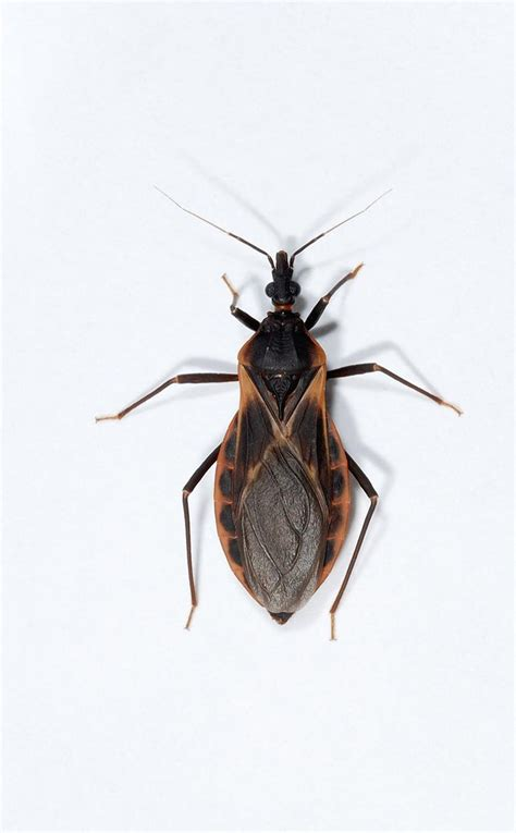 deadly kissing bugs reported