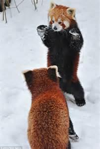 panda pandas snow fu kung fast lightning attack vienna tiergarten schoenbrunn zoo pictured rolling pair around were