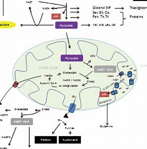 3 The Mainly Biologic Pathway Of Glucose Metabolism