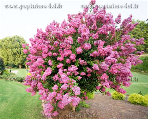 lilas des indes lagerstroemia ppinire lcf