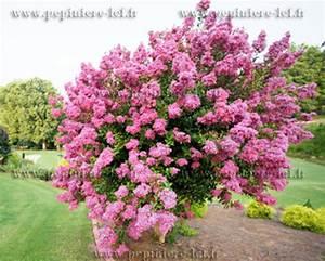 Taille Du Lilas Des Indes : lilas des indes rose lagerstroemia p pini re lcf ~ Nature-et-papiers.com Idées de Décoration