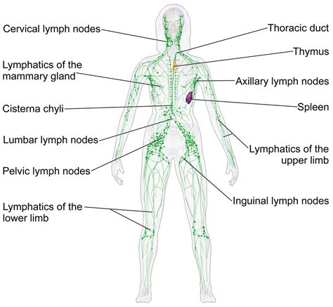 Lymphatic System Wikipedia