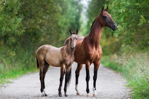 horse horses endangered breeds groups colt akhalteke