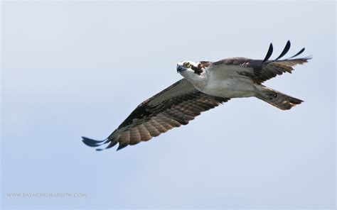 osprey hd wallpaper background image  id wallpaper abyss