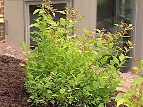low maintenance shrubs 17 low maintenance plants and dwarf shrubs shrubs sun plants and summer plants
