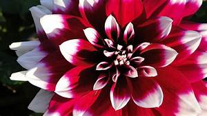 Red And White Flower Photograph by Kiersten Dunbar Chace