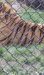 bengal tiger up close | West Midlands Safari Park - April ...