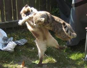 fighting cat stray cat fighting photos what to do about fighting and