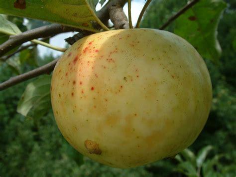Early Season Apples at Big Horse Creek Farm | Page 3