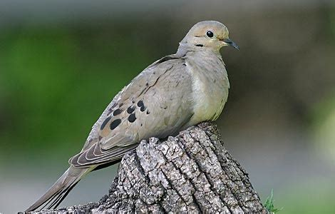 mourning doves www pixshark com images galleries with