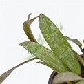 Hoya sigillatis - Tropical Botanical