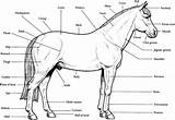 Horse Coloring Realistic Pages Printable Bubakids sketch template