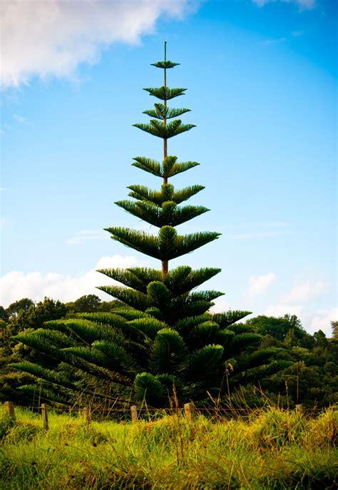 favorite tree   zealand  norfolk pine plants norfolk pine beautiful tree