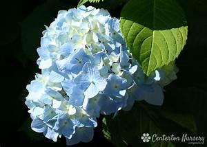 39 nikko blue 39 mophead hydrangea