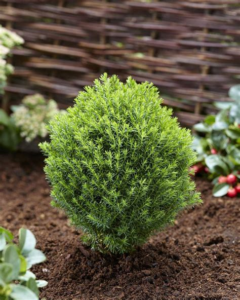 Thuja Occidentalis Teddy by Thuja Occidentalis Teddy Growing Conifer