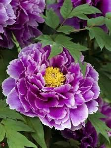 Purple Peony Flowers