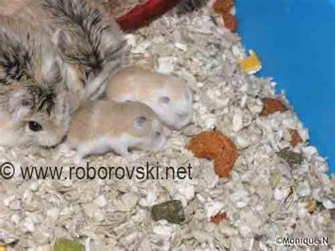 hamster roborovski husky wf phân loại roborovski thiên đường cá cảnh