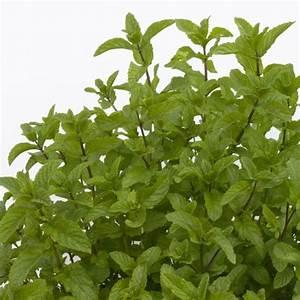 Herbes Aromatiques En Pot : menthe marocaine plantes et jardins ~ Premium-room.com Idées de Décoration