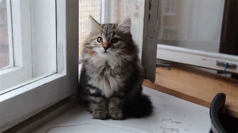 siberian kitten weeks