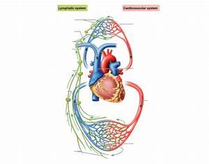 Lymphatic Vs Cardiovascular System