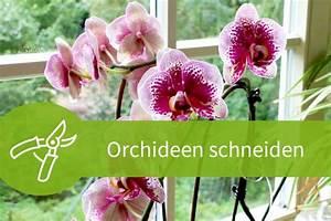 Luftwurzeln Bei Orchideen : orchideen schneiden 8 wege zur strahlenden bl tenpracht ~ Frokenaadalensverden.com Haus und Dekorationen