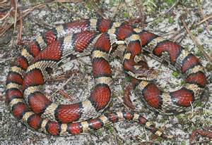 New Jersey Coastal Plain Milk Snake
