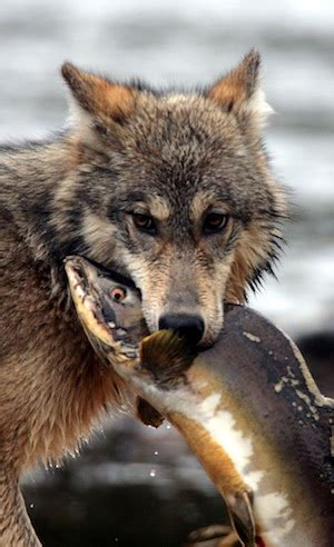 le loup des cotes en colombie britannique est