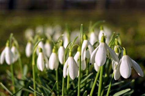 Baltās sniegpulkstenītes - Sniegpulkstenīte (Galanthus nivalis) - redzet.eu