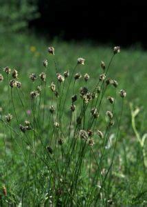 zilganā seslērija - Sesleria caerulea (L.) Ard. - Augi - Latvijas daba