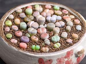 Pflanzen Auf Stein : lebende steine pflanze lithops pseudotruncatella 100 samen gratis versand ~ Frokenaadalensverden.com Haus und Dekorationen