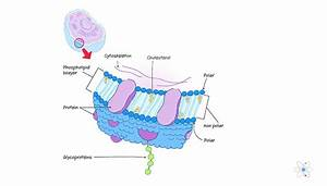 Plasma Membrane  Definition  Structure  U0026 Function  With
